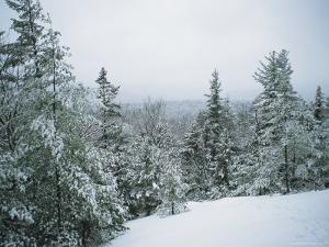 Snow-Covered Evergreens in a Winter Landscape by Bill Curtsinger