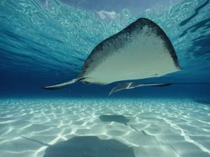 Southern Stingray by Bill Curtsinger