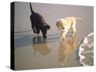 Two Retriever Pups Walk in the Surf at a Beach