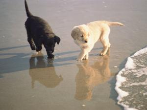 Two Retriever Pups Walk in the Surf at a Beach by Bill Curtsinger