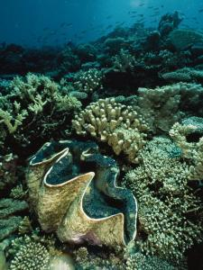 Underwater Vista of a Reef Off Bikini Atoll Reveals a Giant Clam and Various Corals by Bill Curtsinger