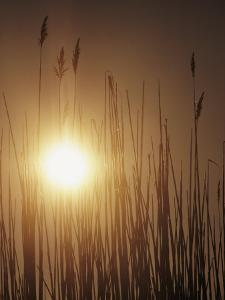 View of the Setting Sun Behind Tall Grasses by Bill Curtsinger