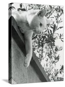 Cat Owned by Olympic Track Star Harold Connoly and Family by Bill Eppridge