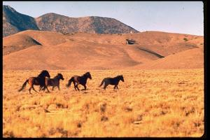 Wild Mustang Horses Running Across Field in Wyoming and Montana by Bill Eppridge