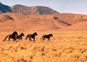 Wild Mustang Horses Running Across Field in Wyoming and Montana by Bill Eppridge