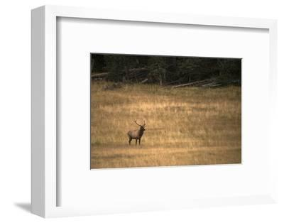 A Lone Bull Elk Standing in a Meadow in the East Fork of the Little Colorado River