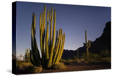 A Night Photo of an Organ Pipe Cactus in Organ Pipe National Monument, Arizona