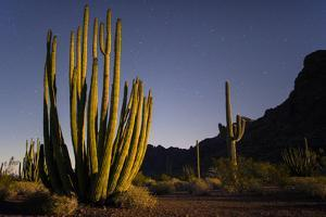 A Night Photo of an Organ Pipe Cactus in Organ Pipe National Monument, Arizona by Bill Hatcher
