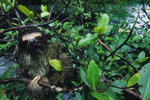 A Three Toed Pygmy Sloth, Bradypus Pygmaeus, in a Mangrove Tree by Bill Hatcher