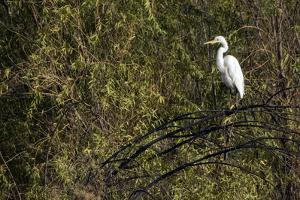 An Egret Perched in a Tree by Bill Hatcher