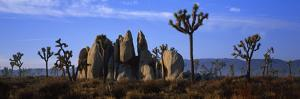 Joshua Trees Grow Among Rock Formations by Bill Hatcher
