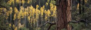 Ponderosa Pine Tree Among Aspen Trees in Fall Colors by Bill Hatcher