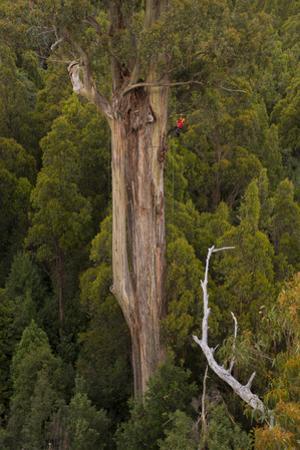 Scientist Russell Kramer Descending a Rope in a 82 Meter Mountain Ash, Eucalyptus Regnans by Bill Hatcher