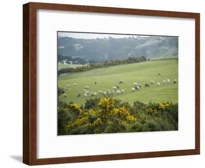 Sheep Graze on the Otago Peninsula Hillside