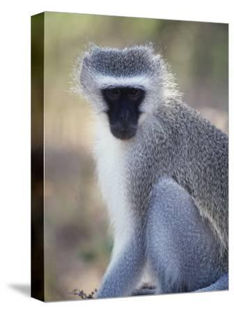 Vervet Monkey in the Sun, South Africa