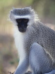 Vervet Monkey in the Sun, South Africa by Bill Hatcher
