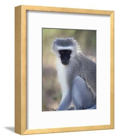 Vervet Monkey in the Sun, South Africa