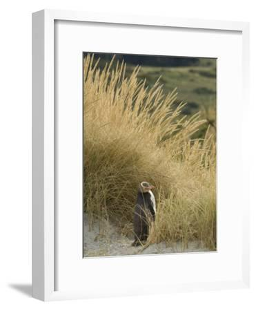 Yellow Eyed Penguin Resting in the Beach Grass