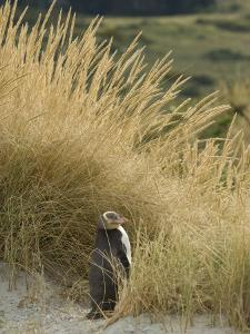 Yellow Eyed Penguin Resting in the Beach Grass by Bill Hatcher