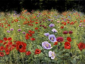 Field Of Poppies by Bill Makinson