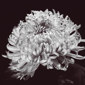 Chrysanthemum by Bill Philip