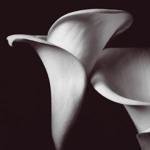 Calla Lily Black And White Photography Artwork For Posters