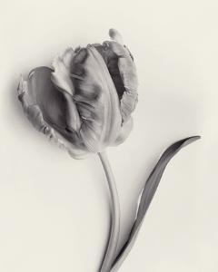 Tulipano Botanica Arc by Bill Philip
