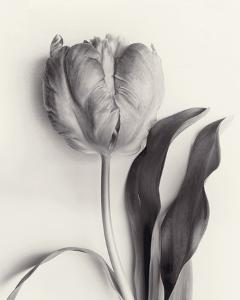 Tulipano Botanica Stature by Bill Philip