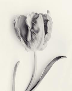 Tulipano Botanica Sway by Bill Philip