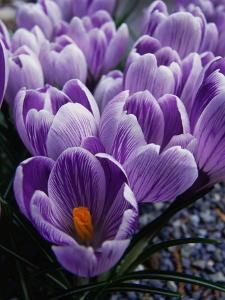 Crocus Flowers by Bill Ross