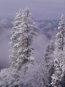 Snowy Trees by Bill Ross
