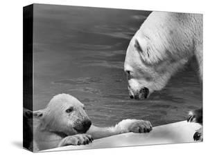 Polar Bears Looking at Each Other by Bill Varie