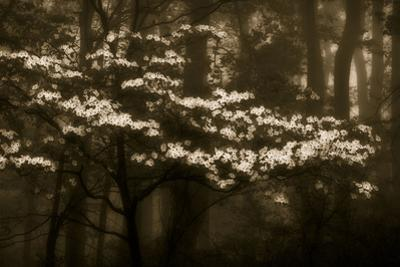 USA, Virginia, Shenandoah NP. Dogwood Blossoms in the Mist