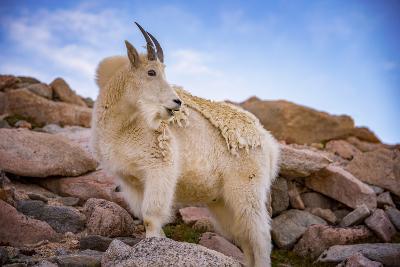 Billy Goat Scruff-Darren White Photography-Photographic Print