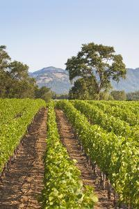 A Lush Green Vineyard in Napa Valley, California by Billy Hustace