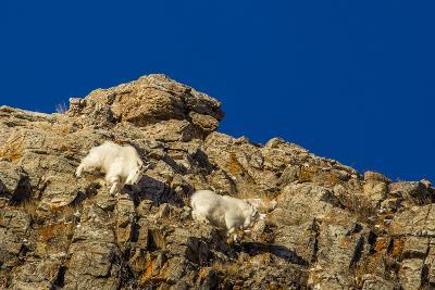 Billy Mountain Goats in Winter Coat in Glacier National Park, Montana, USA-Chuck Haney-Photographic Print