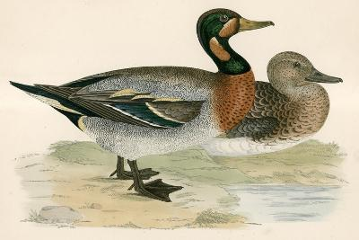 Bimaculated Duck-Beverley R. Morris-Giclee Print