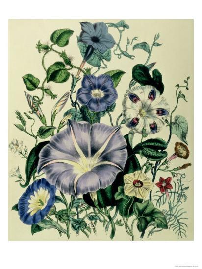 """Bindweed, Plate 26 from """"The Ladies"""" Flower Garden"""", Published 1842-Jane W^ Loudon-Giclee Print"""