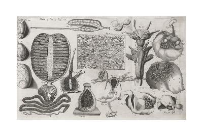 Biological Illustrations, 17th Century-Middle Temple Library-Giclee Print