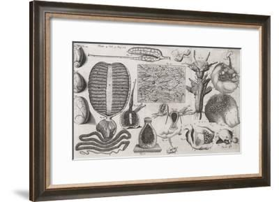 Biological Illustrations, 17th Century-Middle Temple Library-Framed Giclee Print
