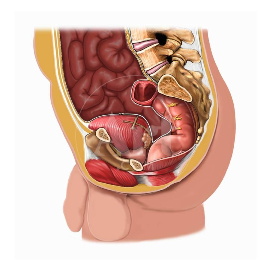 Biomedical Illustration Of The Male Abdominal Anatomy Seen From The