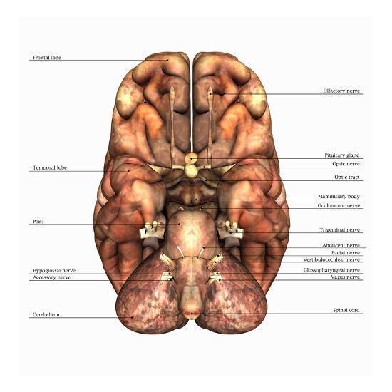 Biomedical Illustration of the Underside of the Human Brain, Labels-Scott Camazine-Giclee Print