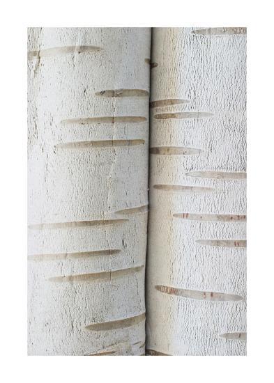 Birch Bark IV-William Neill-Giclee Print