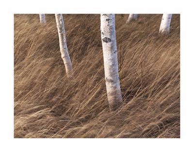 https://imgc.artprintimages.com/img/print/birch-breeze_u-l-f8gk7p0.jpg?p=0