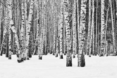Birch Forest in Winter in Black and White- furtseff-Photographic Print