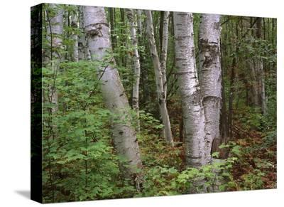 Birch forest, Pictured Rocks National Lakeshore, Michigan-Tim Fitzharris-Stretched Canvas Print