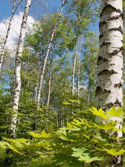 Birch Grove-Nataliya Dvukhimenna-Photographic Print