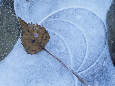 Birch Leaf Caught in Frozen Pond, Almer Lake, Bavaria, Germany-Martin Gabriel-Photographic Print