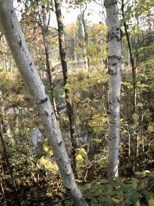 Birch Tree Along Lakeshore