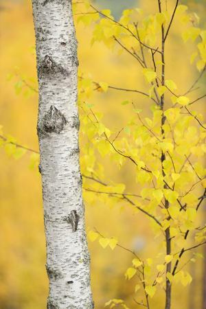 https://imgc.artprintimages.com/img/print/birch-tree-betula-verrucosa-or-pubescens-oulanka-finland-september-2008_u-l-q10ohys0.jpg?p=0